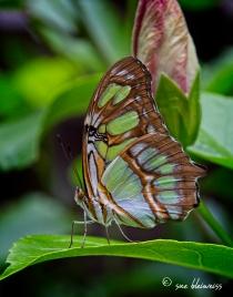 butterfly copy1